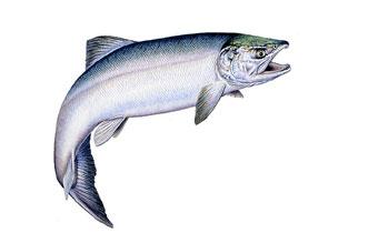 salmon2fw.jpg